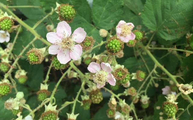 blackberries flowering
