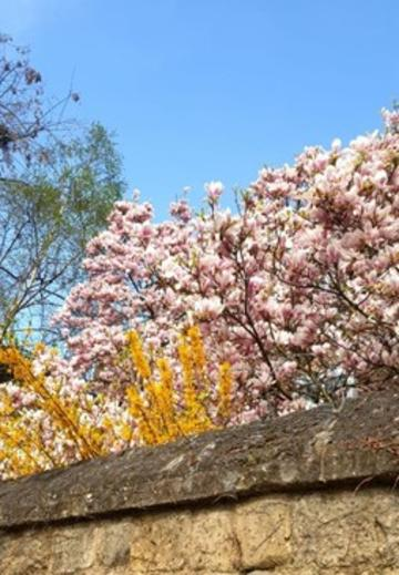 Magnolia tree blossoms above a high stone wall in Oxford